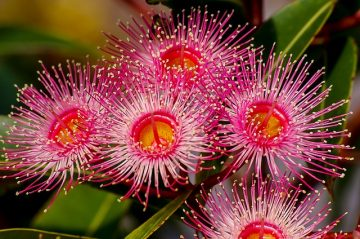 eucalyptus tree flowers