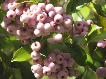 Lillypilly plant with berries