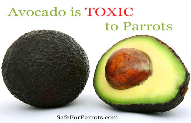 Avocado is toxic to birds