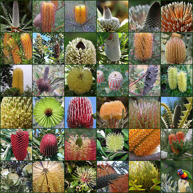 There's a huge variety of Banksia species, all with spectacular nectar rich flowers. Parrots will love the flowers, seed pods, branches and foliage of any Banksia