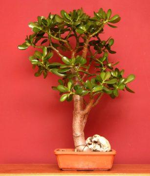 Jade plant - Crassula ovata