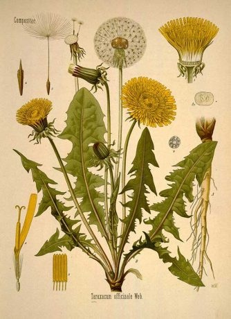 Illustration of the dandelion plant