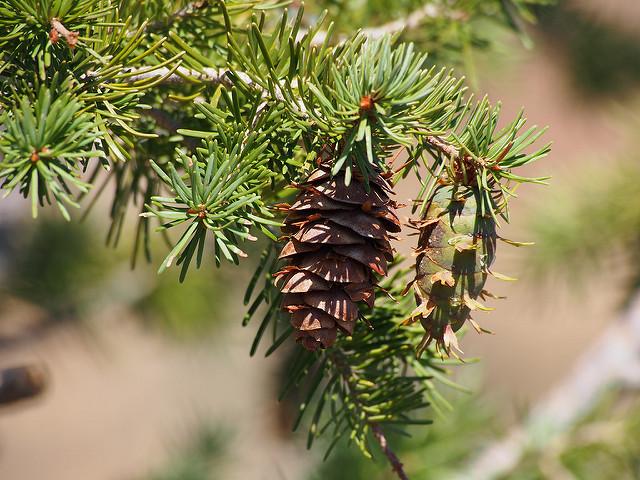 Douglas fir pine cones