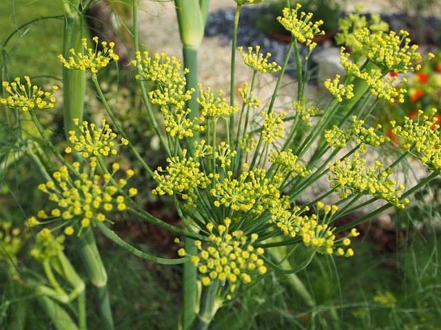 Flowers of the fennel plant