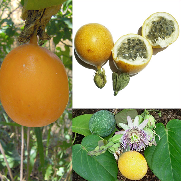 Granadilla passionfruit - Passiflora ligularis