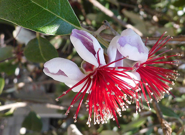 Flower of the Feijoa plant