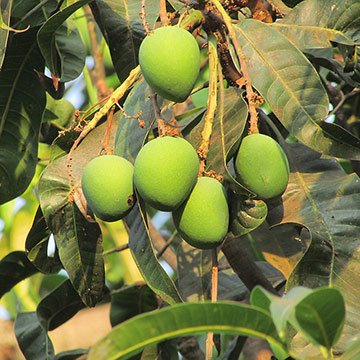 Mango fruits developing on the tree