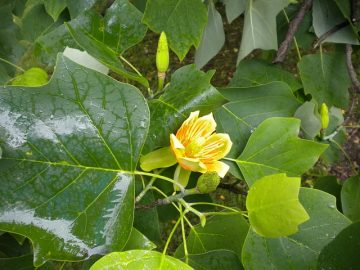 Flowers and leaves of the poplar tree Liriodendron tulipifera